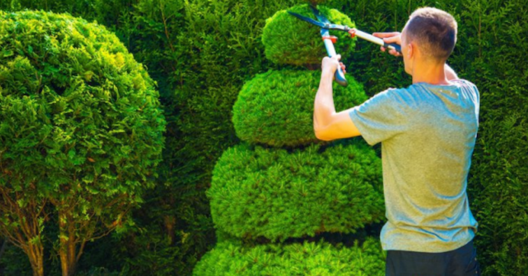 man-trimming-a-spiral-hedge