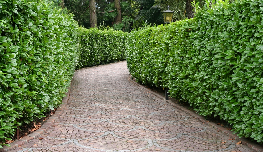 cedar-hedge-bordering-a-pathway