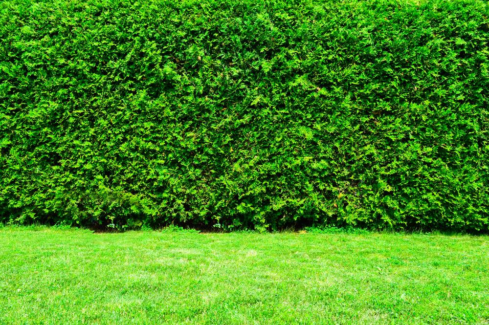 neatly-cut-cedar-hedge